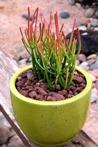 Milk Bush Zone 10 to 11 Drought tolerant sunshine attract bees  İndoor Cactus Plants