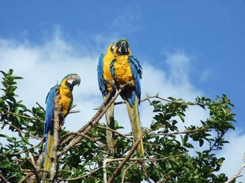 three yellow-and-blue macaw birds perched on brown branch