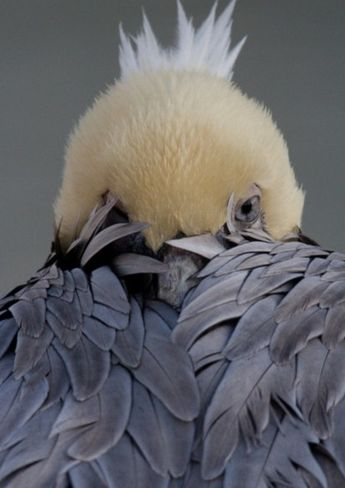 An Eastern brown pelican on a... by Irene Amiet Quiroga | metal posters