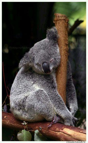 Tired koala bear