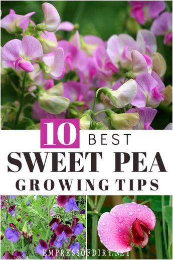 10 Best Tips for Growing Sweet Peas