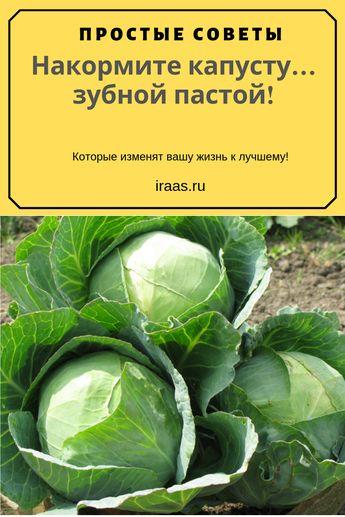 Если бы не испытала этот метод, никогда бы в такое не поверила. Еще в прошлом году соседка посоветовала обработать кочаны от гусениц капустной белянки… обыкновенной зубной пастой. Я недоверчиво посмеялась, бороться решила химикатами и проиграла «сражение» – почти вся моя капуста пропала. #капуста #садовник #сад #огород #гусеница #капустница #вредители