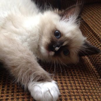 Mitted Seal Ragdoll
