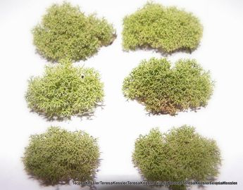 Live Reindeer Moss 6 tiny bundles or 3 larger
