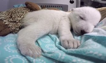 Polar bear cub Nora's first 83 days at Columbus Zoo – video