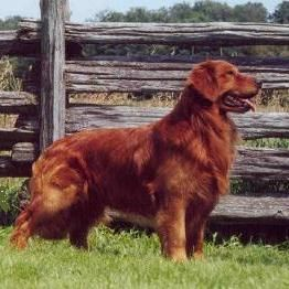 I Used To Have A Beautiful Red Colored Golden Retriever Gre