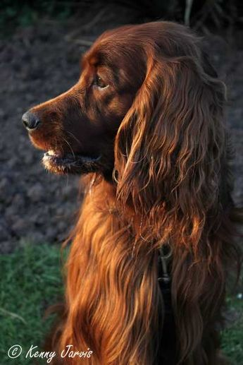 Irish Setter. I did a mosaic in the 4th grade of just this pose. Funny how memories are triggered.
