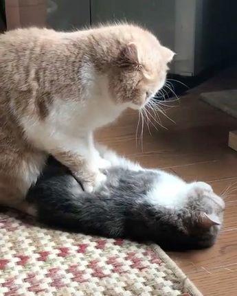 "From @kc_0116kaolin: ""弟の茶寿を揉み込む兄ちまたん!"" #catsofinstagram"