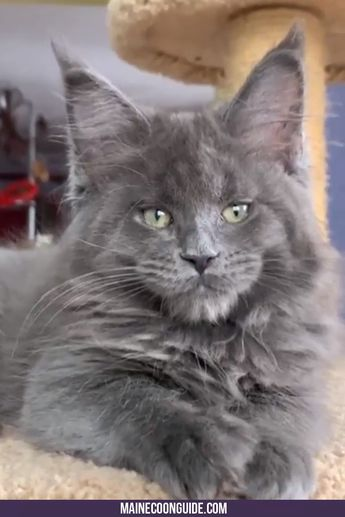 Where to Find Free Maine Coon Kittens » Maine Coon Guide