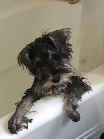 Axel's first bath #miniatureschnauzer #miniatureschnauzerpuppies