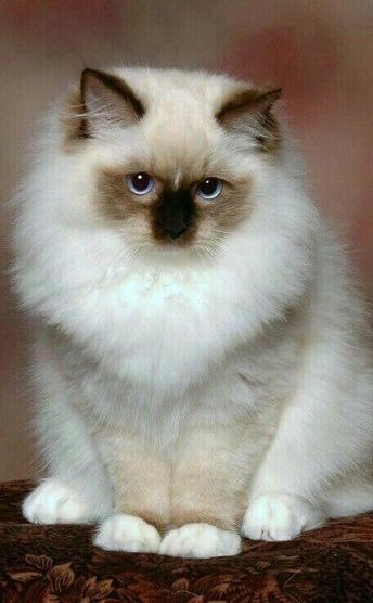 - Tap the link now to see all of our cool cat collections! #ragdollcatwhite #persiancat