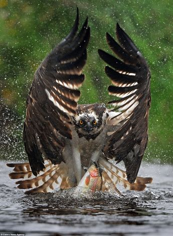 Incredible photos show moment osprey swoops to river to catch prey