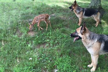 Orphaned fawn and her protectors