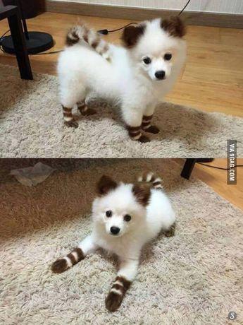 Half dog half ringtail. But dingadong cute