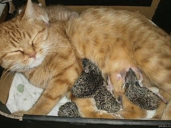 The Time A Cat Adopted Four Baby Hedgehogs