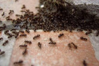 HOW TO GET RID OF ANTS IN YOUR HOUSE WITHOUT CHEMICAL PRODUCTS?