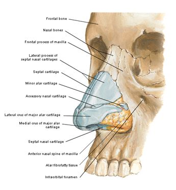 The skeletal component of the nose includes the frontal process of the maxilla, the nasal process of the frontal bone, the ethmoid, the vome...