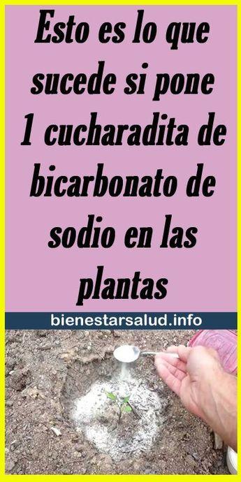 #bicarbonato #cucharadita #plantas #sucede #sodio #esto #pone #las #que #lo #si #es #en #deEsto es lo que sucede si pone 1 cucharadita de bicarbonato de sodio en las plantas -