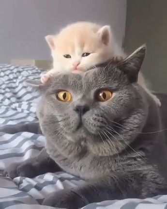 Mother Cat Was Surprised To Feel Something On Her Head - FUNNY 9GAG LOL LMAO