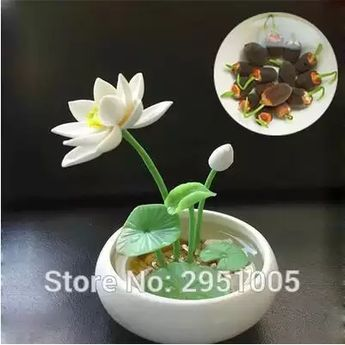 20 tipo de agua pequeña 10 piezas mini loto bonsai planta envío libre