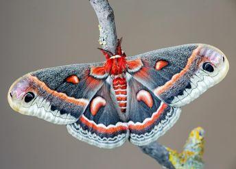 Hyalophora cecropia #hyalophora #cecropia #moth #kelebek... #lepidoptera #insect #saturniidae #art #nature #macro #closeup #beautiful…