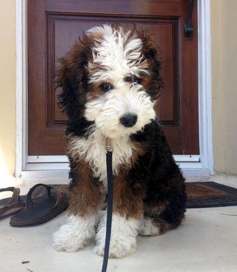 Reddit Meet Zuri Our 13 Week Old Mini Bernedoodle Not To Be Mistaken For