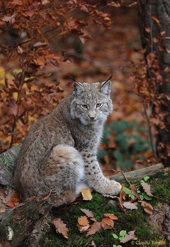 #lynx #cats #nature #animal #wildlife