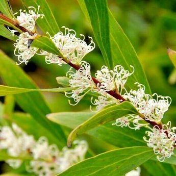 "Hakea salicifolia, ""willow-leaved hakea"" Seedling Hardy Native Tree"