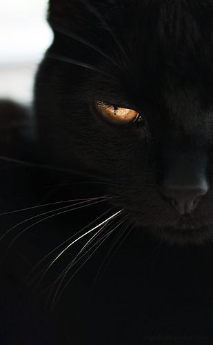 Orange Eyed Black Cat scary creepy halloween halloween pictures halloween images halloween ideas black cat
