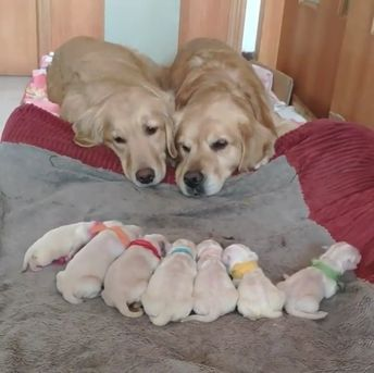 The Golden Retriever: An Intelligent Worker and a Patient Family Dog