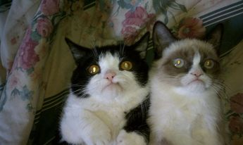 Introducing Pokey: Grumpy Cat's Only Slightly Less Grumpy Younger Brother