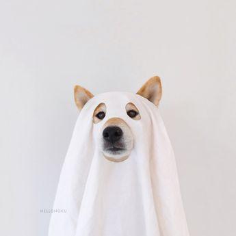 Shiba Inu Hoku dressed up to have a ghostly good time.