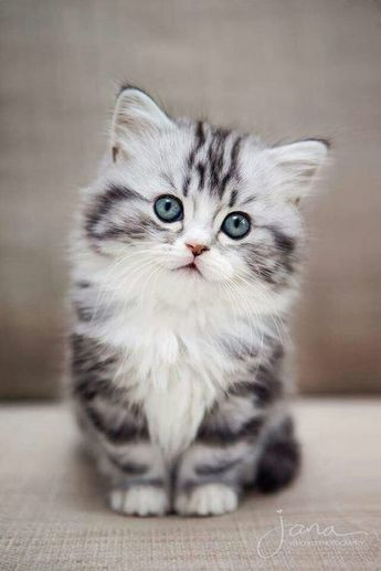 7 Facts About American Bobtail Cats You Have To Know