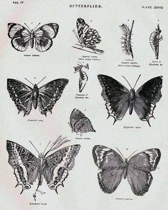 Butterflies XXVIII 1892 Victorian Entomology Antique Chart Of Pretty Insects To Frame Black & White