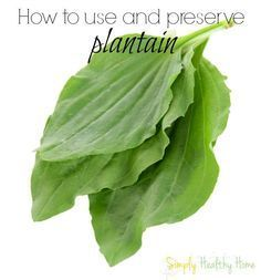 Plantain is a wonderful herb to keep around the house for treating bug bites, burns, cuts and skin infections. We are want to say thanks if you like to share this post to another people via your facebook, pinterest, google plus or twitter account. Right Click to save picture or tap and hold for...