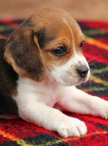 Blue Tick Beagle
