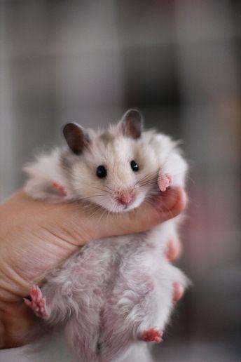 Silver Grey Syrian hamster
