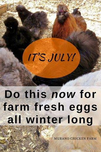 Want your chickens to lay eggs in winter? Use this simple method to make sure your new layers are at their peak during the coldest months of the year! #chickens #fresheggs