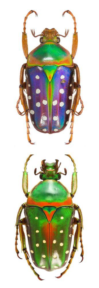 Stephanorrhina buttata - spotted flower beetle - CETONIIDAE - - #beetle #buttata #CETONIIDAE #flower #Spotted #Stephanorrhina