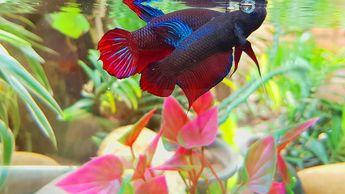 Beautiful Silver Betta Fish Colors - Betta Care
