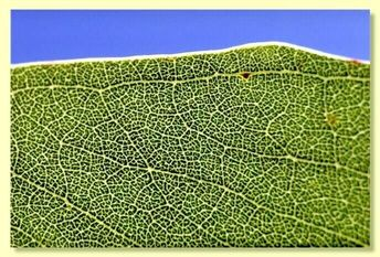 "Eucalyptus yarraensis, ""Yarra Gum"" Seedling Hardy Native Tree"