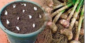 Já pensou em plantar alho em casa?É mais fácil do que você imagina.Vale a pena, pois você vai economizar deixando de comprar o alho quase sempre velho vendido nos supermercados.