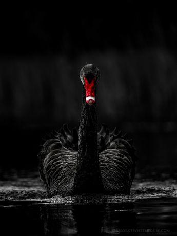 Beautiful Black swan.
