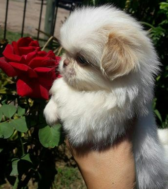Omg omg what a lil puff of cuteness 😍