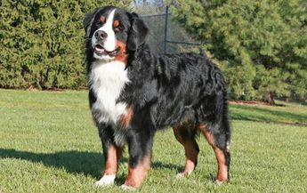 List of attractive biggest dog breeds in the world ideas and photos