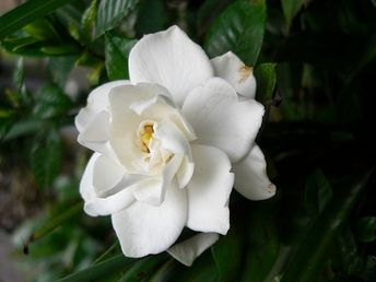 Indoor Plants For The Holidays  Gardenia