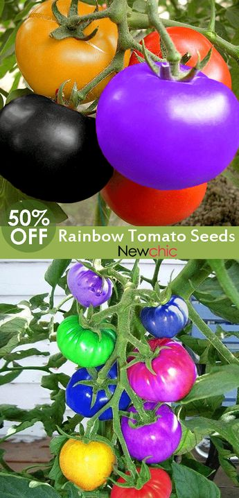 【50% off】100Pcs Rainbow Tomato Seeds Magic Garden Colorful Bonsai Organic Vegetables and Fruits Seeds Home Yard.#seeds #homedecor #garden