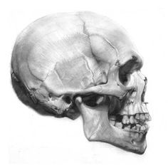 Profile View of the Skull - anatomy for the artist- Media - Artist Daily David…