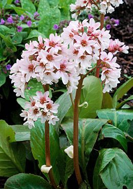 Bergenia cordifolia 'Bressingham White' is a clump-forming evergreen perennial and is very useful ground cover. Unlike some of its relatives, 'Bressingham White' is a tasteful blush pink rather than a lurid candy floss colour carried on rhubarb-red stems. Even people who say they can't stand elephant's ears will like this cultivar. It makes around 45cm in height and spread and will tolerate sun or partial shade. I use them all the time when I'm designing gardens. (Photo source&credit not known)