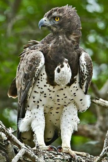 Martial Eagle - Kruger National Park